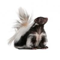 skunk problems Spokane